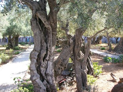 gethsemane trees